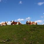 Kühe im Tappenkar 2