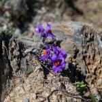 Alpen-Leinkraut - Überlebenskünstler im Fels