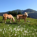 Haflinger Pferde am Weg zur Unterwandalm