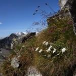 Edelweiß - die Königin der Alpenblumen