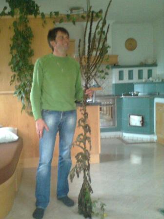 Willi mit 2 Meter langer Königskerze - Zeichen für tiefen Winter (in diesem Fall vielleicht Zeichen für einen alternativen Christbaum)