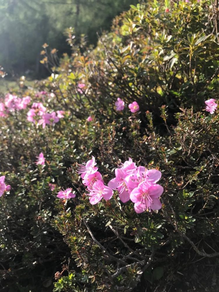 Zwerg-Alpenrose