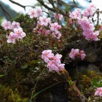 Zwerg-Alpenrose 2013_2