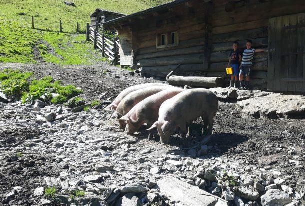 Glückliche Almschweinderl auf der Aigenalm-Mandlhütte