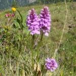 Orchideen auf den Bergen im Großarltal