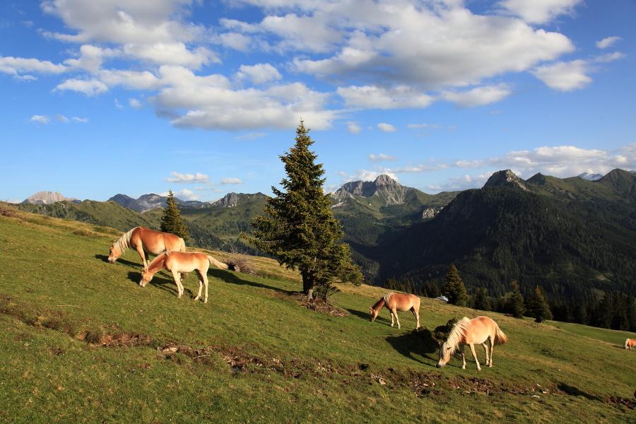 Pferde im Ellmautal