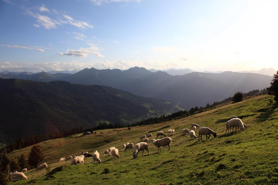Schafe im Ellmautal